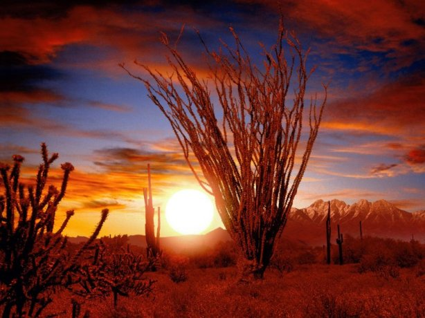 Ocotillo__Sonora_Desert__Arizona