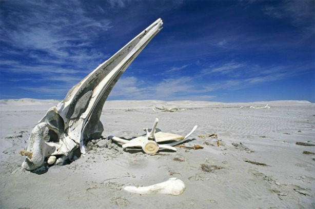 esqueleto-ballena-california