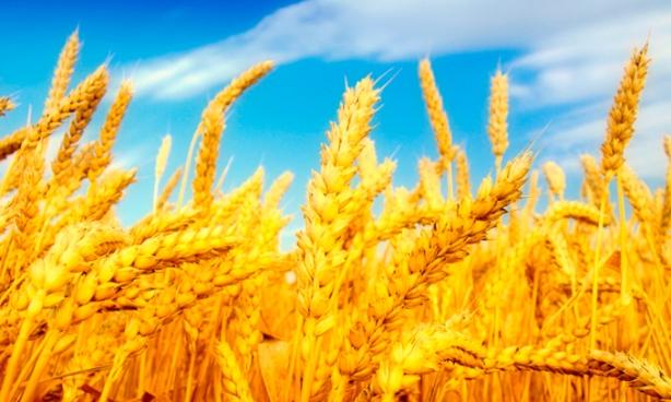 desarrollan-trigo-dorado-biofortificado-en-betacaroteno